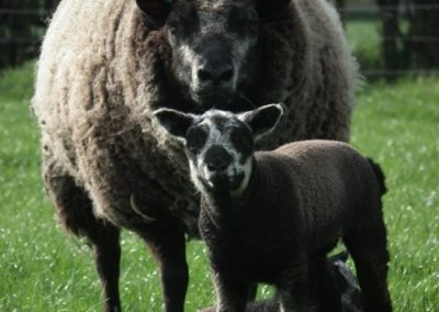 Blue Texel ewe and lambs